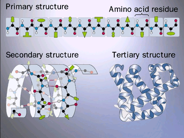 The three stages of protein folding
