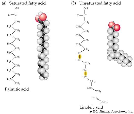 Triglyceride Molecule Structure Esters; fats vs. oils;...