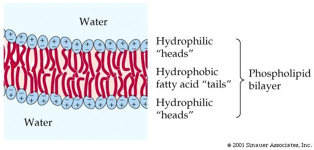 as a phospholipid bila...