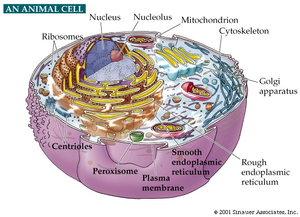 picture of animal cell labeled. An animal cell