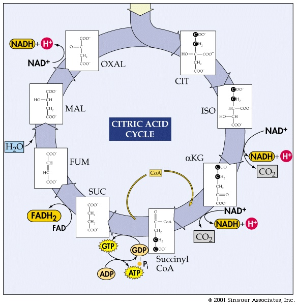 Citric Acid Cycle Structures Citric Acid Cycle The Will