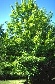 Invasion Biology Introduced Species Summary Project Columbia - Norway maple uses