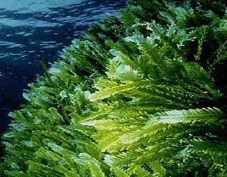 تالگو و جلبک