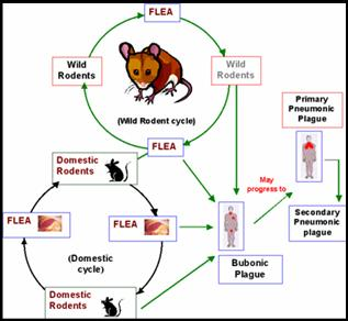 rodent carrying fleas facilitated the spread of the bubonic plague Gerbils from asia rather than black rats were responsible for repeated outbreaks of the bubonic plague in caused another plague-carrying rodent fleas, which.