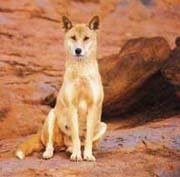Dingo dogs 3