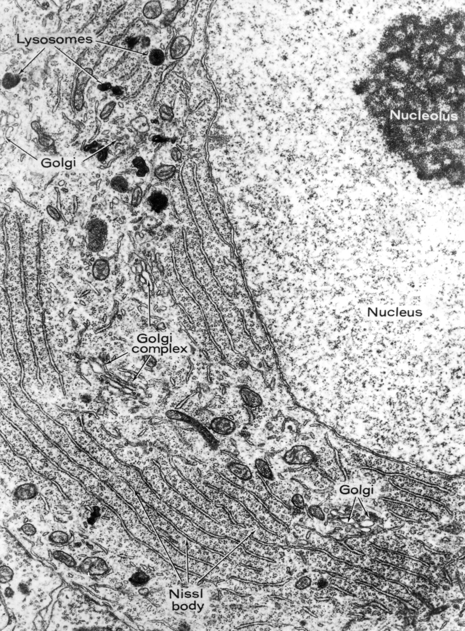 The gallery for --> Smooth Endoplasmic Reticulum Electron ...
