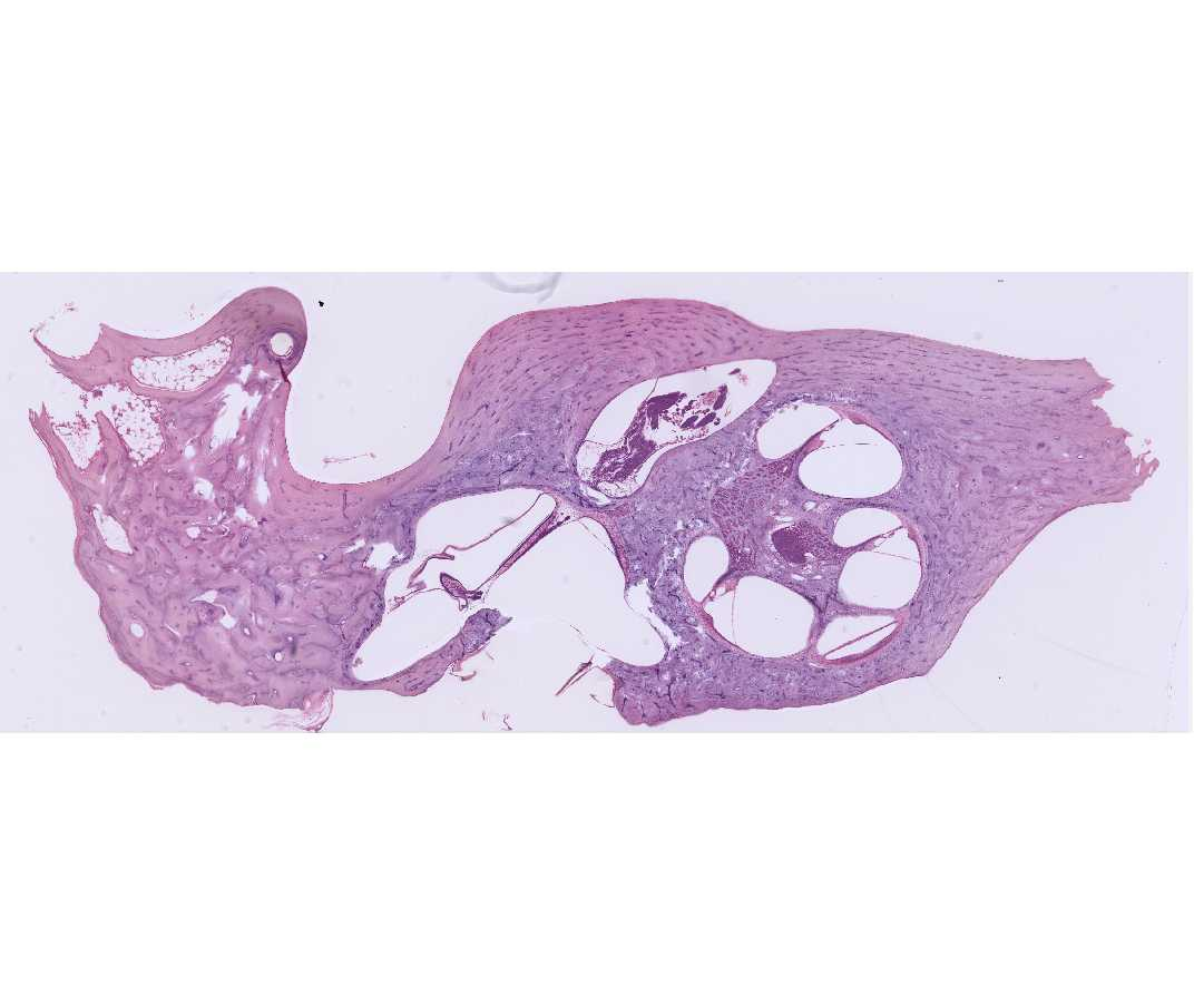 Histology Laboratory ManualUtricle And Saccule Histology
