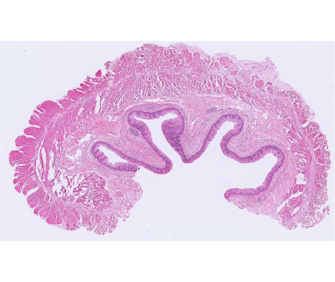 histology laboratory manual, Muscles