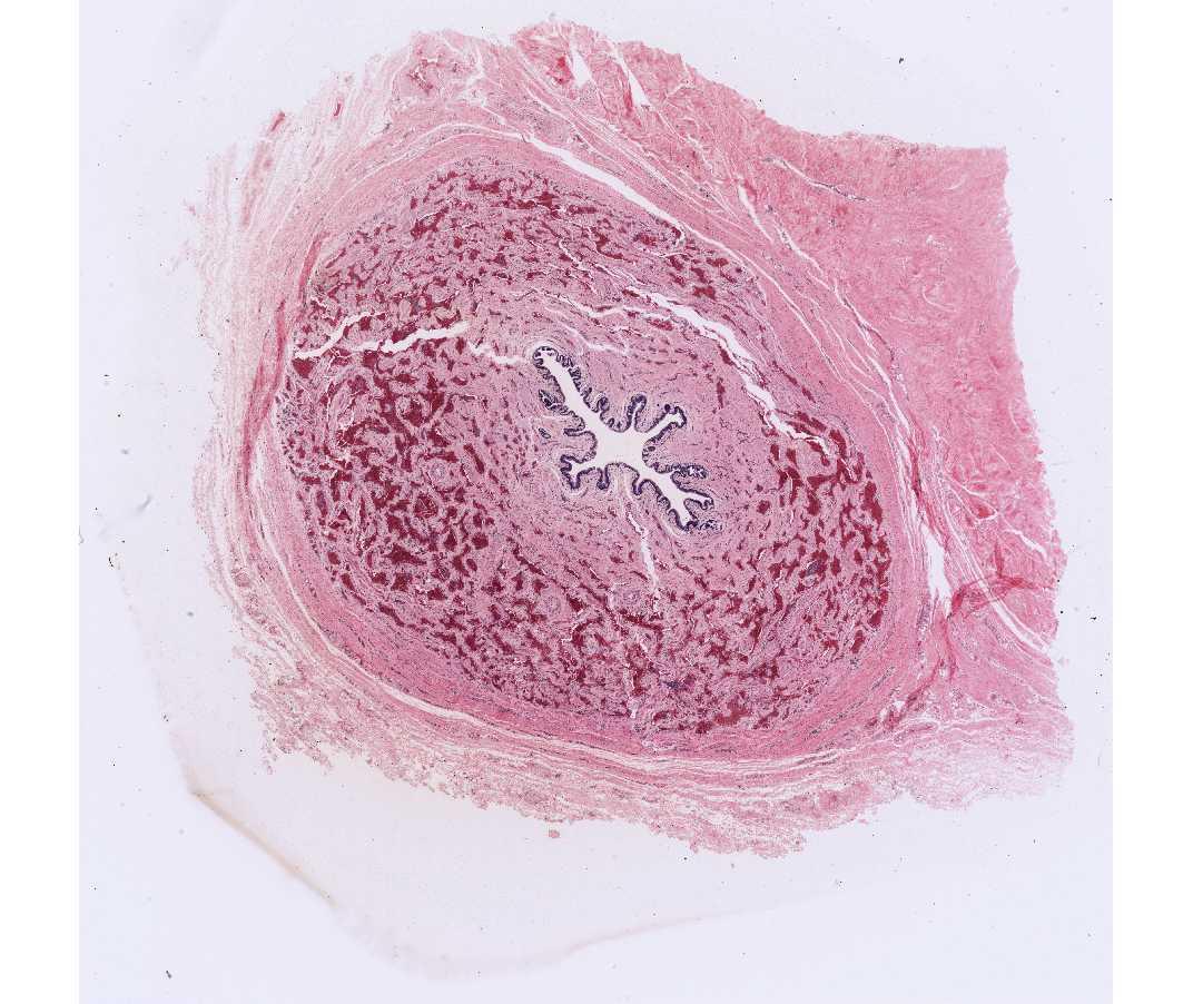 penis histology