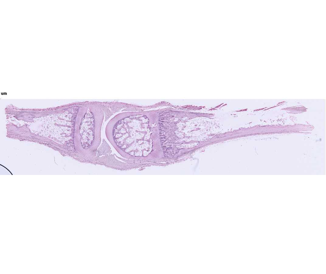 Histology Laboratory Manual Deletions or activation of these gene products in mice causes the abnormal ossification of cranial synchondrosis and skeletal elements. histology laboratory manual