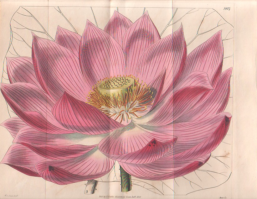 Nel mbium speci sum the Indian lotus a botanical drawing by Curtis 1842